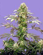 Matanuska+Tundra+5+fem+[Sagarmatha+Seeds]+:+Hanfsamen+kaufen+-+Cannapot