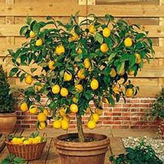 Meyer Lemon.  My jasmine has done very well outside in summer, inside in winter, so I'm wondering if this would behave similarly.