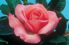 Lovely Lady® (Rose)