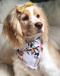 Ollie needs a best friend. My little sunshine 💛 . Bandana by 🌷 Cute Puppies, Cute Dogs, Dogs And Puppies, Doggies, Funny Animal Memes, Funny Animals, Cute Animals, Perro Cocker Spaniel, Animals And Pets
