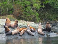 a group Stellar sea lions resting on a rock close to Telegraph Cove, British Columbia
