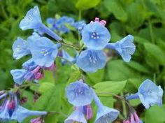 Virginia bluebells are off. Hardiness zones Buy virginia bluebells online now. Types Of Flowers, Wild Flowers, Shade Flowers, Spring Flowers, Flowers Perennials, Planting Flowers, Virginia Bluebells, Indoor Flowering Plants, Gardening Zones