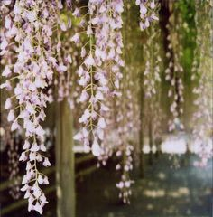 wisteria. maybe by the entrance, in the reception above the head table, or the alter? Wedding decoration decorations flower