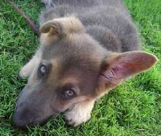 Blue GSD puppy   (GSD coat colors)