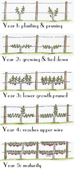 How to Espalier fruit trees - planning and pruning guide