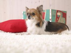The Papillon is a quite intelligent and self-assured dog that has an incredibly easy time studying new tricks.A petite, fine-boned, delicate breed with an elegance that belies its frolicsome nature, the Papillon stands at less than a foot tall, with all the average at 11 inches.