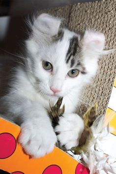 The american curl cat breed is prominently known for its distinguishable feature of its curled back ears. Read more about this amazing cat in this article. American Bobtail, American Curl, I Love Cats, Cool Cats, Highlander Cat, Kittens Cutest, Cats And Kittens, First Time Cat Owner, Animals And Pets