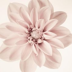 Dahlia - fine art flower photography print by Allison Trentelman