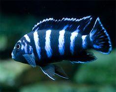 espèce de demasoni de Cichlidé, de Pseudotropheus de Demasoni::Aquarium Domain.com