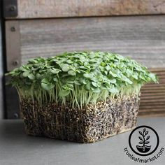 1//2 Lb Quinoa Tri-Color Microgreens Seeds Sprouting Red Black White