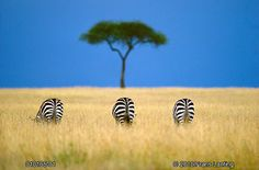 Risultati immagini per masai mara best photo zebra National Geographic Photographers, National Geographic Travel, African Animals, African Safari, African Art, Frans Lanting, Frames For Canvas Paintings, Out Of Africa, Belle Photo