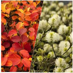 Whats better than brilliant autumn foliage when its followed by beautiful spring blooms? Not much! Plant Dwarf Fothergilla this season for its majestic color and enjoy its showy flowers in spring. A bonus is that its deer resistant. (zones 5-9)