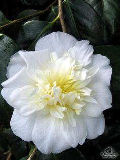 Camellia 'Dear Jenny'