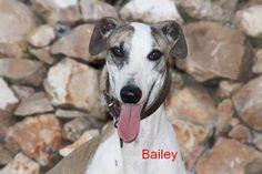 Galgo Rüde Bailey sucht ein Zuhause - http://www.tier-kleinanzeigen.com/ads/galgo-ruede-bailey-sucht-ein-zuhause/