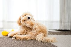 """Often called """"the cutest dog ever"""", the Maltipoo is an affectionate designer dog. A mix of a Poodle and a Maltese, he is friendly and… Maltese Poodle Puppies, Maltipoo Puppies For Sale, Maltipoo Dog, Yorkie, Chiweenie Dogs, Purebred Dogs, Bloodhound Dogs, Silly Dogs, Cute Dogs"""