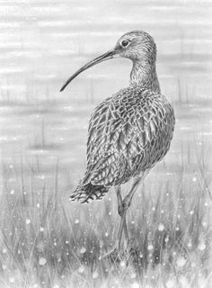 'Curlew' by Nolan Stacey