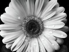 black and white daisy photography | Raindrops On Gerber Daisy Black And White Photograph