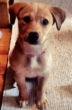 """Lola the Labrador Mix-Adorable! """"Whatever Lola wants, Lola gets!"""" Look at those loving eyes!"""