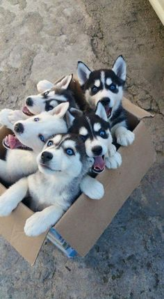 a box full of siberian huskies