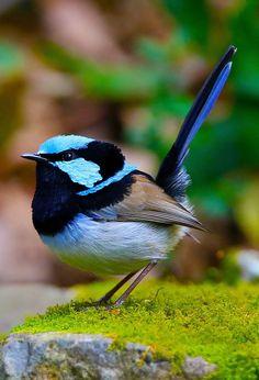 Blue Wiggly Butt by cobaltsennheiser on DeviantArt Cute Birds, Pretty Birds, Small Birds, Little Birds, Beautiful Birds, Animals Beautiful, Baby Animals, Cute Animals, Blue Fairy