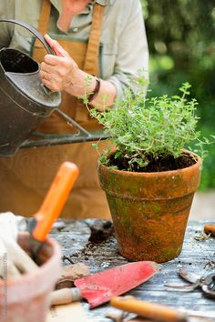 Watering just bedded Marjoram plant with old enamel watering can by Laura Stolfi - Stocksy United Stock Imagery, Garden Shop, Eco Garden, Garden Gate, Garden Tools, Garden Ideas, Aromatic Herbs, Planting Vegetables, Small Gardens