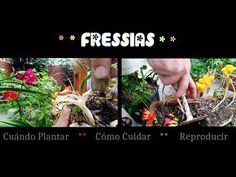 Fressias: Cómo, Cuándo plantar, Cuidados y Reproducción. Tutorial planta fresia. CasiQueNo - YouTube