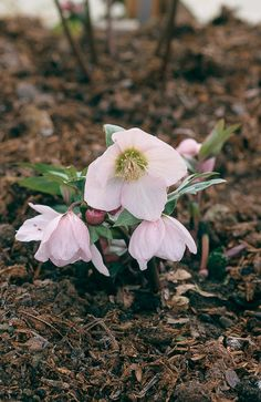 'Pink Ice', a hybrid of Helleborus thibetanus and H. niger