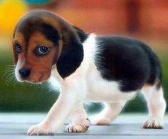 Newborn beagle puppy