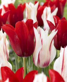 Tulip Red Shine - Lily Flowering - Tulips - Flower Bulbs Index