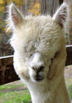 Baby Llama Cria Animal Nature Cow Alpaca Modern Canvas Print A3