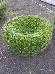 Buxus sempervirens  topiary Buxus Sempervirens, Topiaries, Gardens, Topiary, Outdoor Gardens, Garden, Yards, Formal Gardens