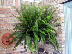 Kimberly Queen Fern Care