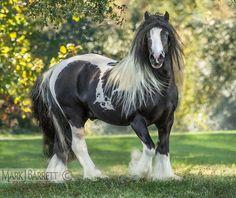 """Pilot""  Gypsy Vanner Horse stallion"