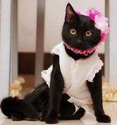 Image result for dressed up cats pictures