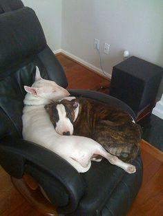 Bull Terrier love @Kristi Moore James