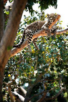 jaguar- My favorite animal