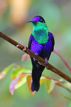 The Violet-crowned Hummingbird (Amazilia violiceps) is a medium-sized hummingbird. It is 10 cm long and weighs approximately 5 g.  The bird is best distinguished by its violet-colored cap, from where it gets its name. Adults are colored predominantly a dark olive green for their upperparts and tail. The underparts are predominantly white. The bill of the male is straight and very slender. It is red in coloration, and shows a black tip.