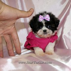 Teacup+Shih+Tzu+Puppies | Tiny Teacup Shih-Tzu Puppies Available NOW – Must See ...