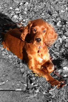 Too cute my red setter