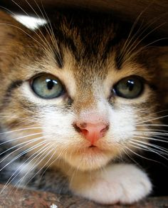 Cats are one of the most numerous pets in the community. The cuteness of the cat and its adorable style make the community choose cats as th. Cute Kittens, Pretty Cats, Beautiful Cats, Pretty Kitty, I Love Cats, Crazy Cats, Gato Calico, Cat Profile, Baby Animals