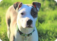 Schaumburg, IL - Boxer Mix. Meet TOPHER, a puppy for adoption. http://www.adoptapet.com/pet/18202152-schaumburg-illinois-boxer-mix