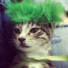 """295 Beğenme, 3 Yorum - Instagram'da Kedi Şeysi (@kedilikmuessesesi): """"Anne adayı 💚💚💚💚💚 #kedi #hamile #anne #anneadayı #baby #babyonboard #pregnant #kokoş #iyigeceler"""""""