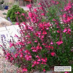 Salvia greggii Cold Hardy Pink Cold Hardy Pink Texas Sage Low Water Plants Eco Friendly Landscapes Perennials from High Country Gardens Texas Landscaping, Front Yard Landscaping, Landscaping Ideas, Landscaping Software, Landscaping Plants, Garden Shrubs, Garden Plants, Garden Loppers, Potager Garden