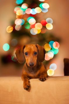 Shop Dachshund Christmas Card created by Personalize it with photos & text or purchase as is! Dachshund Funny, Mini Dachshund, Dachshund Puppies, Cute Puppies, Cute Dogs, Christmas Dachshund, Daschund, Dachshund Rescue, Dachshund Shirt