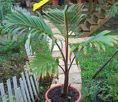 Hyophorbe-laugenicaulus--bottle-palm-3 (125 of 184)