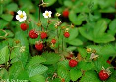 Fragaria vesca/Alpine Strawberry. This native strawberry produces small flavorful berries.