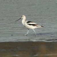 American Avocet, Lagoon Trail, Del Mar, California
