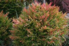 nandina domestica 'gulf stream' - compact heavenly bamboo - bushy, tolerant of urban conditions, foundation planting, red/orange winter color, evergreen Garden Shrubs, Flowering Shrubs, Deciduous Trees, Trees And Shrubs, Garden Plants, Garden Landscaping, Landscaping Ideas, Backyard Plants, Outdoor Plants