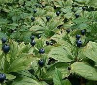 Plantas Medicinales: UVA DE RAPOSA (utilizada antiguamente para los trastornos digestivos)