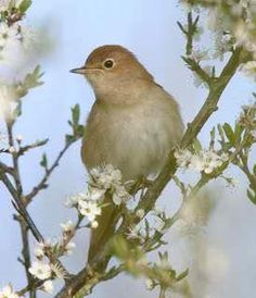Nightingale (April to August visitor from West Africa)… Nightingale Bird, Reptiles, The Thorn Birds, West Africa, Beautiful Birds, Beautiful Voice, Bird Feathers, Celtic, Fairy Tales